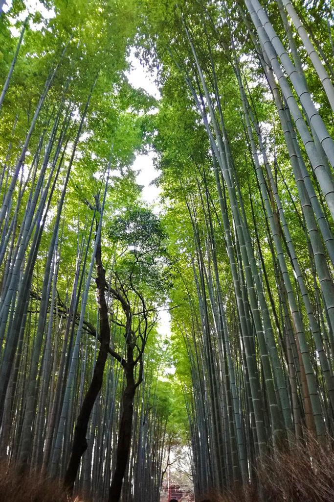 foresta-bambù-Arashiyama-Kyoto-Giappone-Japan-Asia